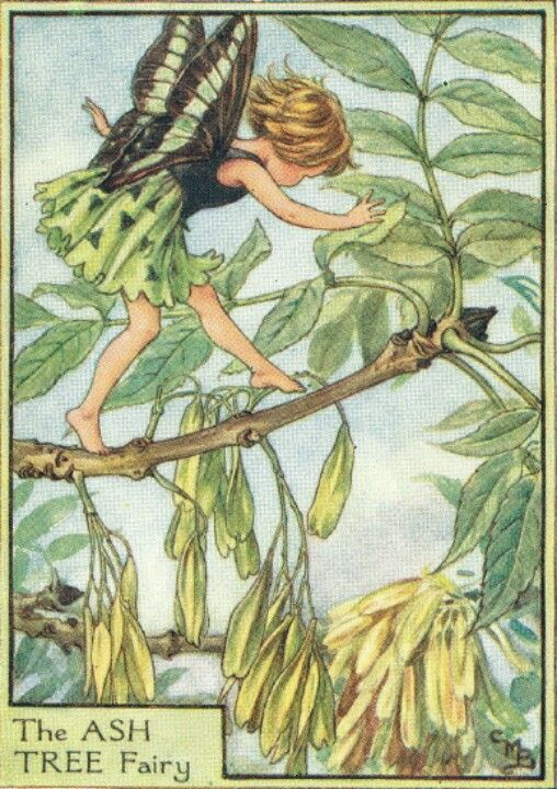 Fairy: The Ash Tree Fairy, by (CMB) Cicely Mary Barker, 1935
