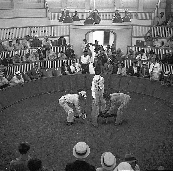 Un deporte gente de Puerto Rico jugar es pelea de gallos. Pelea de galos es muy viejo.