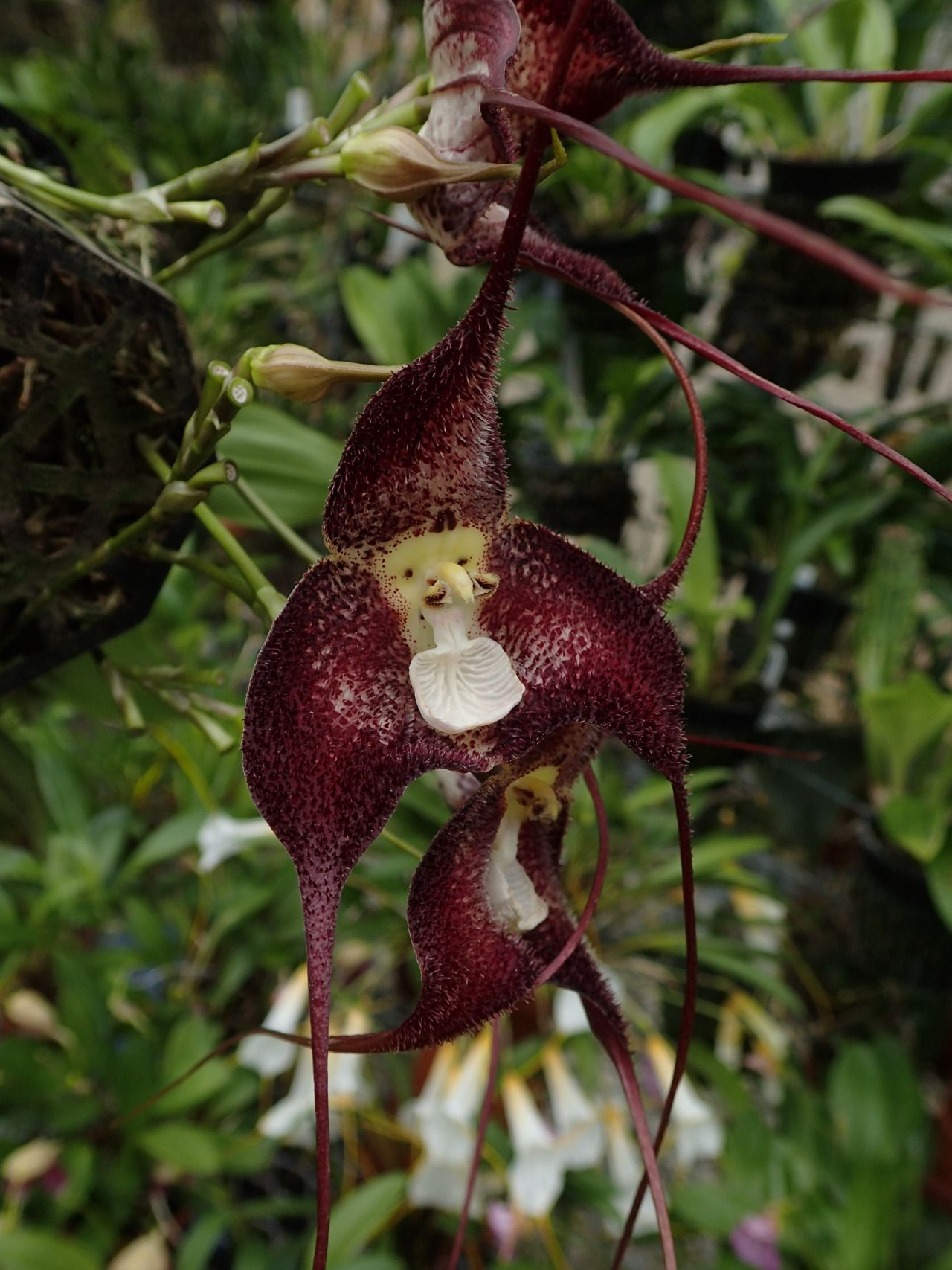 Orchid dracula platycrater flickr photo sharing orchids