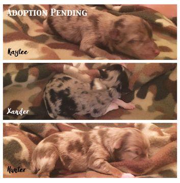 Litter Of 4 Miniature Australian Shepherd Puppies For Sale In