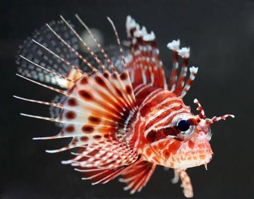 Fuzzy Dwarf Lionfish Lion Fish Sea Fish Marine Fish