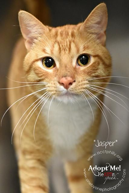 JASPER is an adoptable Tabby - Orange searching for a forever family near…