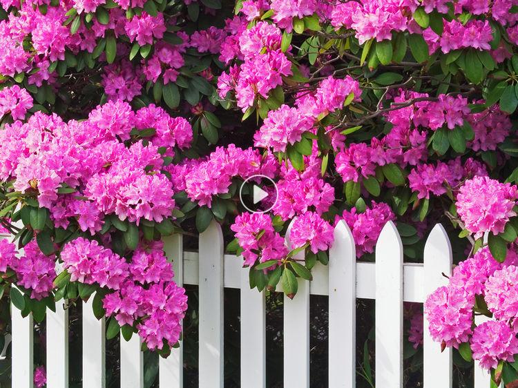 splendide plante de terre de bruyre le rhododendron aime la fracheur et lhumidit - Planter Un Rhododendron Dans Votre Jardin