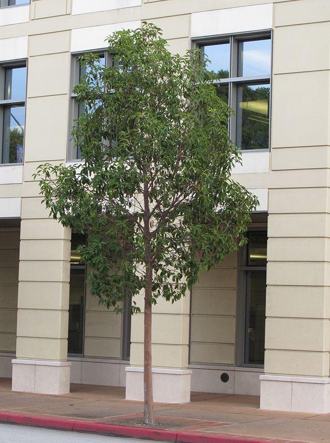 Street Tree Tristania conferta Plants 2 t Small trees
