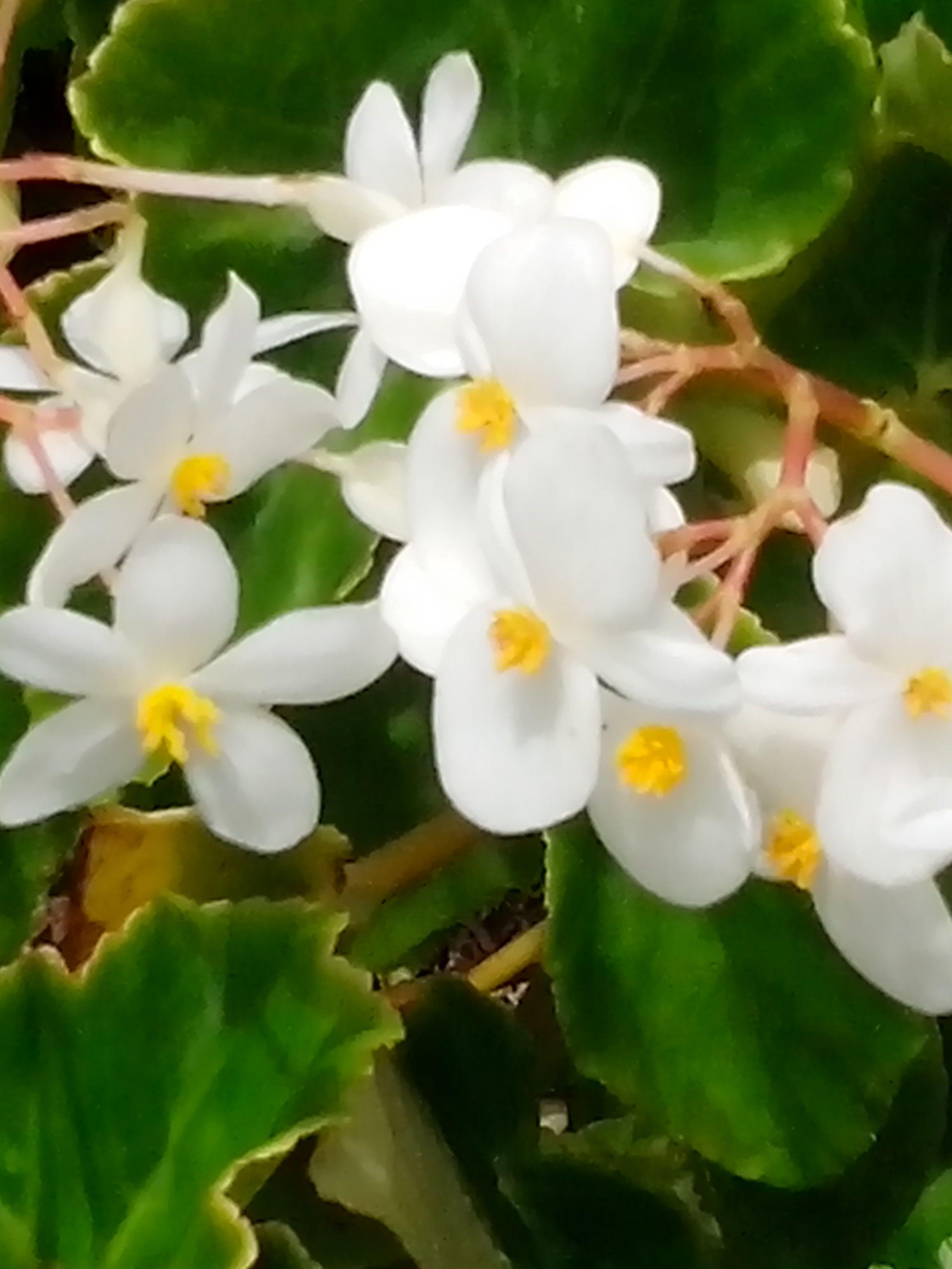 Small White Flowers Flowers Of Trinidad Tobago Pinterest