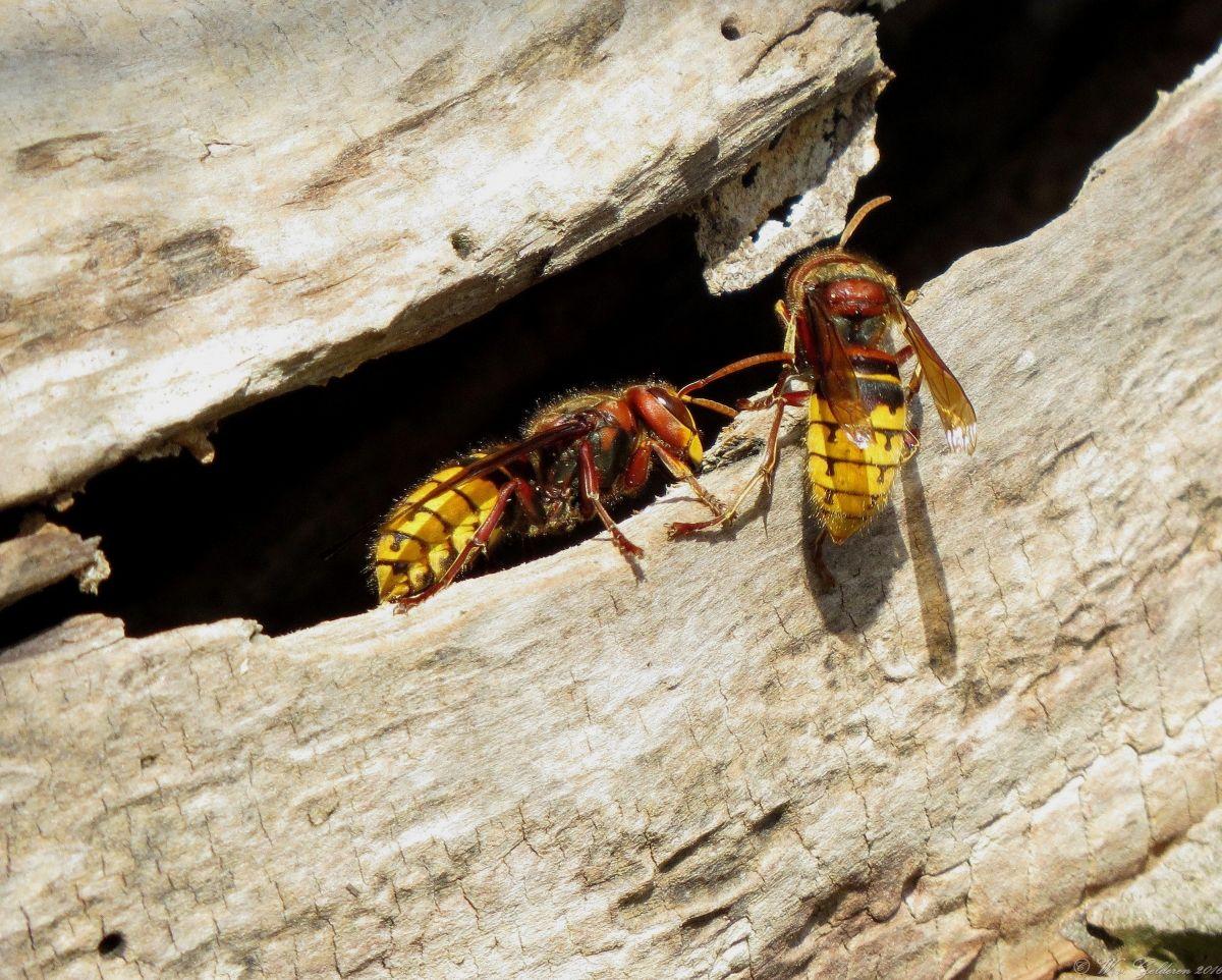 Hoornaar (Van vroegevogels)