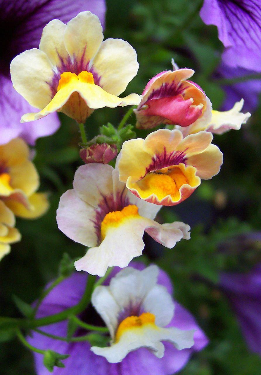 nemesia snapdragon plant my favorite color combination