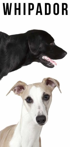 The complete guide to Whippet Lab mix - Choosing Your New Puppy #newpuppy