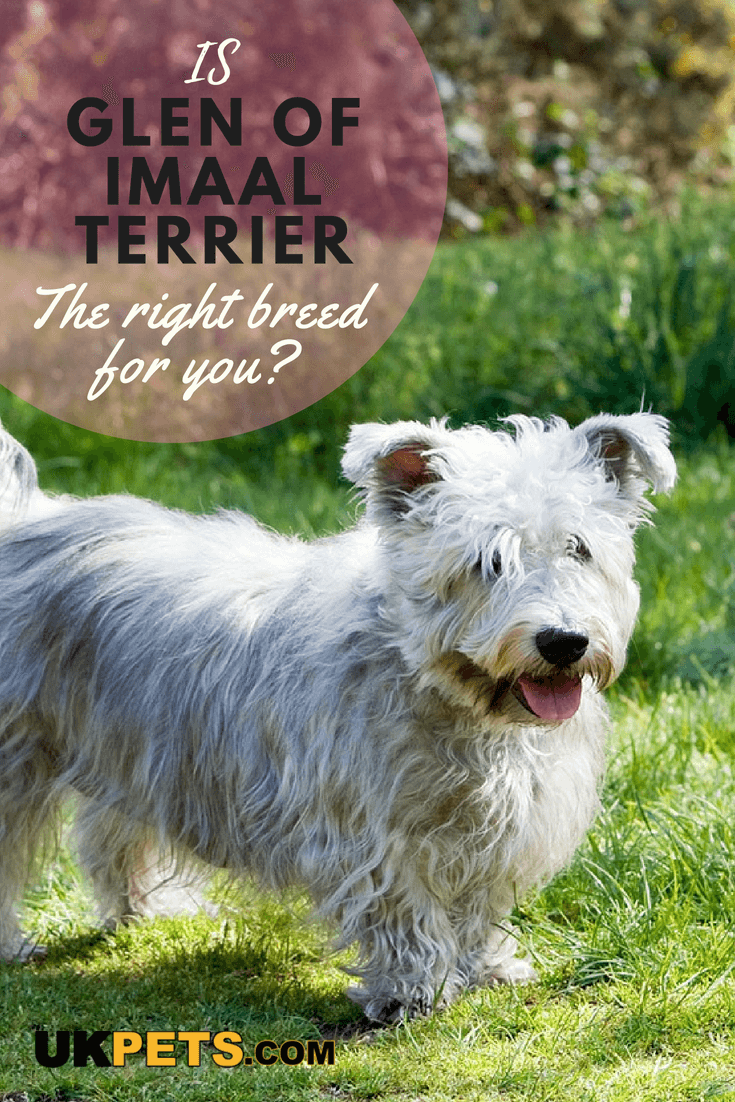 Glen Of Imaal Terrier Dog Breed Information Uk Pets Glen Of Imaal Terrier Dog Breeds Terrier Breeds