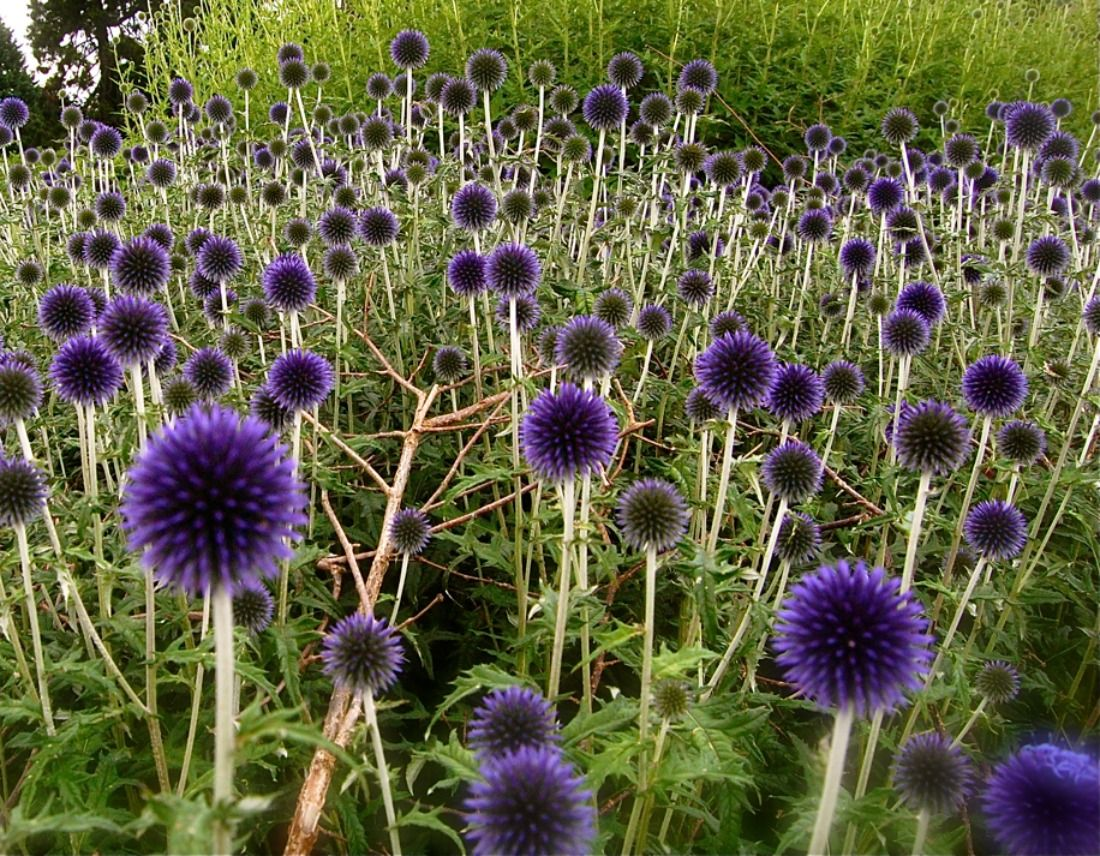 Echinops veitches blue globe thistle blue purple flowers for Low maintenance perennials for full sun