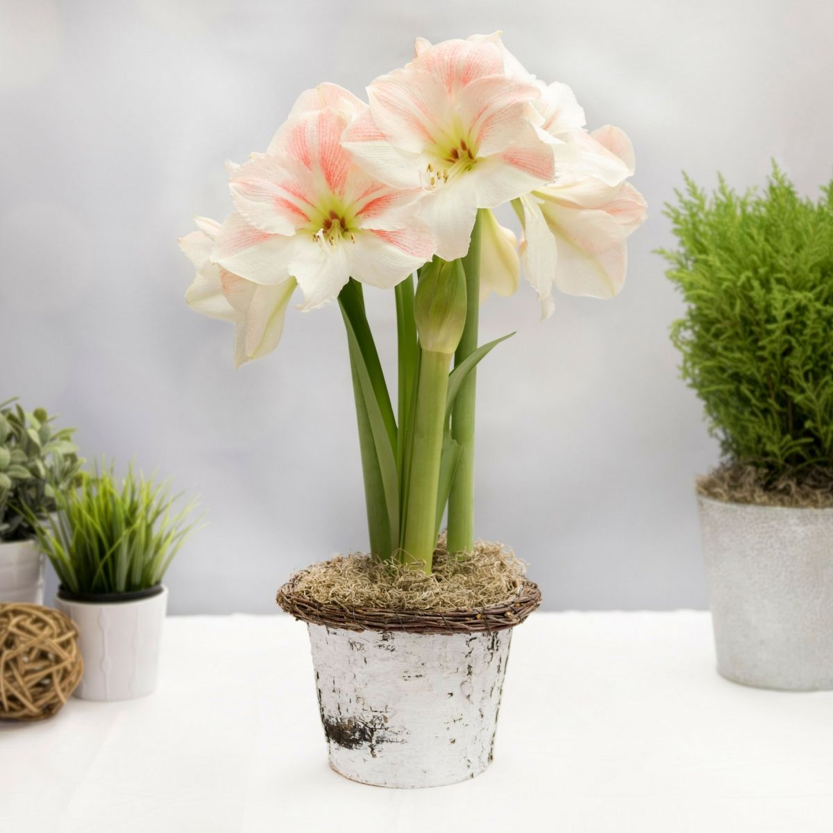 Giftkit Apple Blossom Is A Lovely Ivory And Pale Pink Amaryllis A Classic That S Treasured For Its Delicate Color Amaryllis Apple Blossom Pretty Flowers