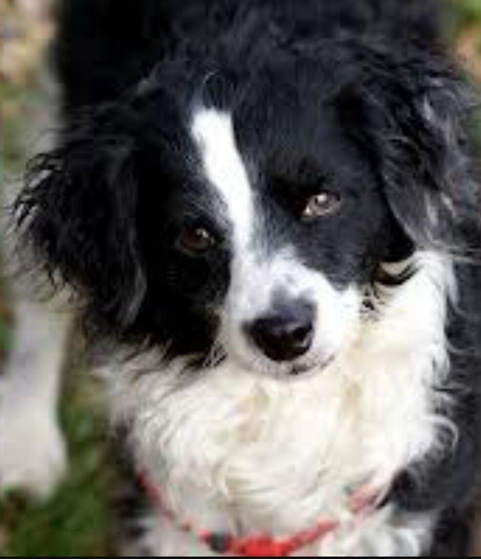 I Want A Bordoodle Sooooo Bad Bordoodle Collie Poodle Mix Border Collie Poodle Mix