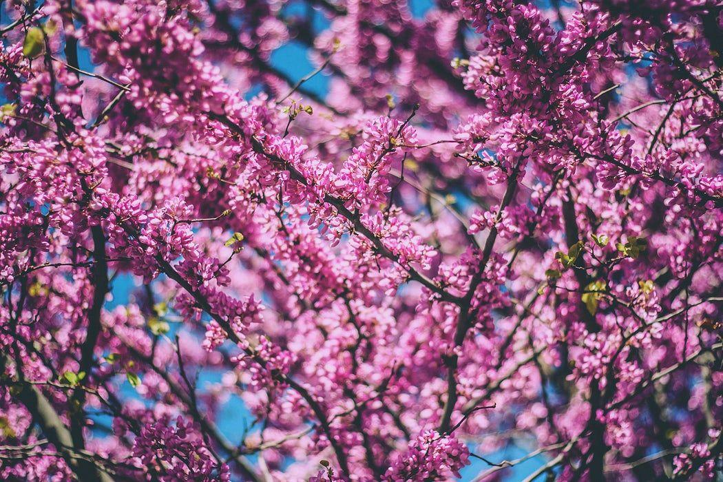 Cherry Blossom Against Blue Sky Photo By Indah Nur Indaheart On Unsplash