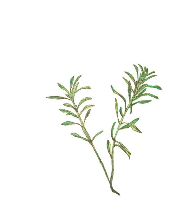 thesis on thyme Thyme despite the many variations of thyme plants in different regions of the world, in general the herb has a strong balsamic and smoky aroma with subtle flavors of.