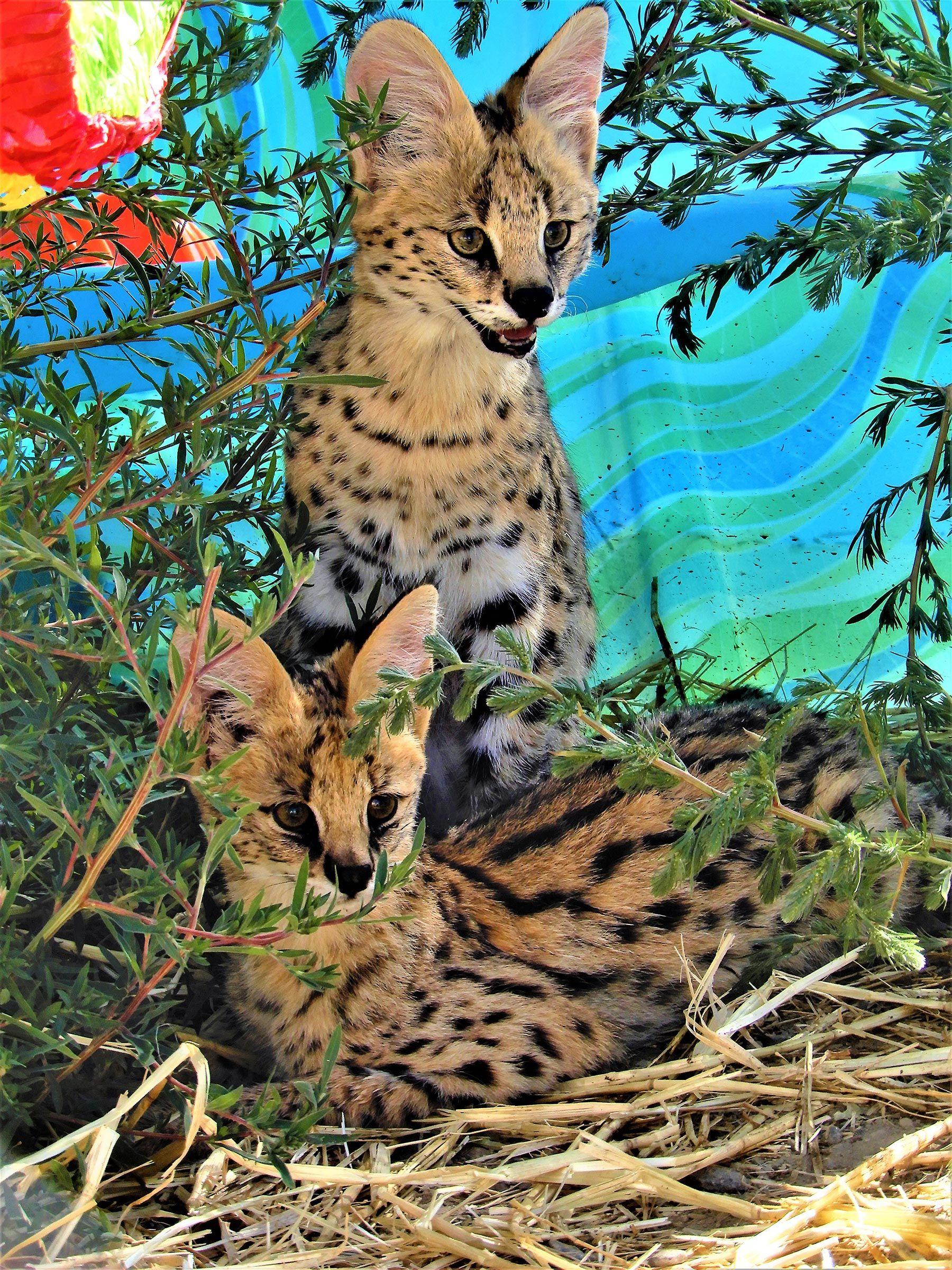 Pin on Groß und Wildkatzen
