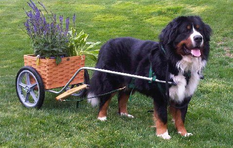 Bernese Mountain Dog Breeder Kentucky Breed Of Dog