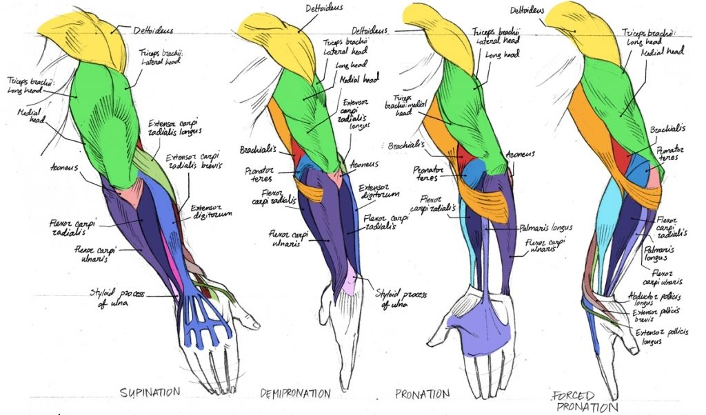 arm muscle anatomy diagram | sketches and anatomy | pinterest, Human Body