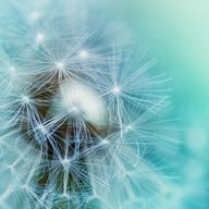Dandelion photography - fine art photography 5x5 - blue green teal spring macro print botanical print clickety, $15