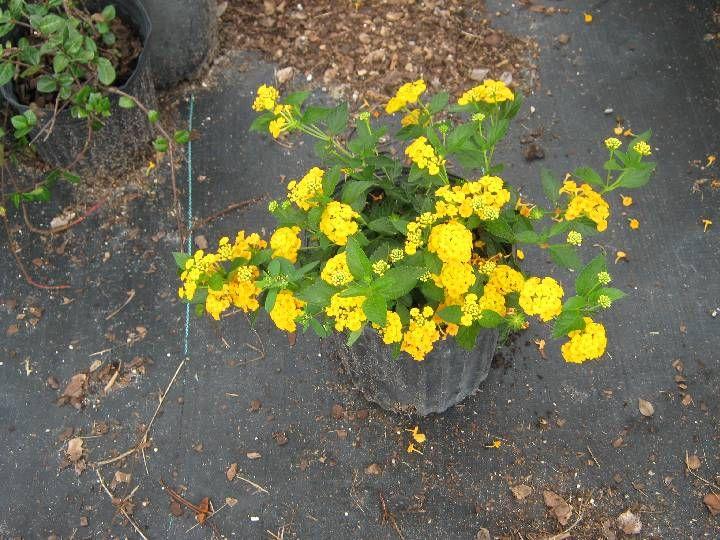 Lantana yellow plants florida plants yellow lantana
