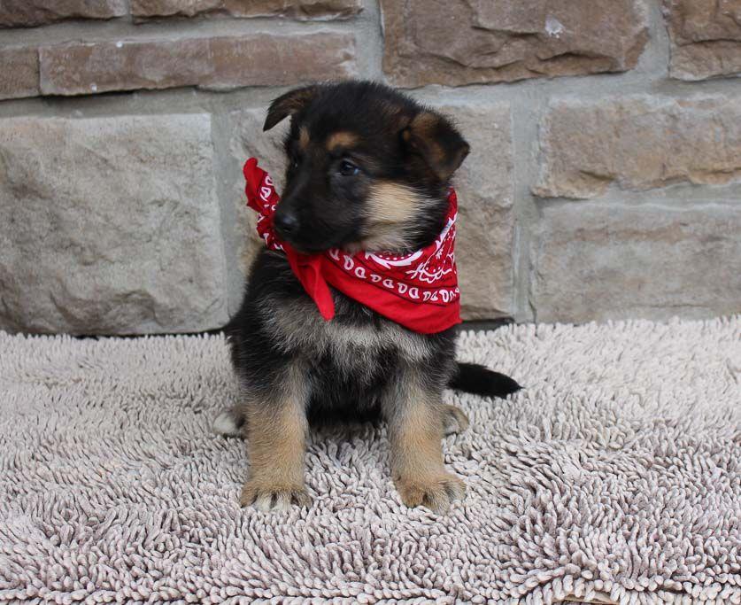 Lovely AKC German Shepherd puppy for sale in New Haven