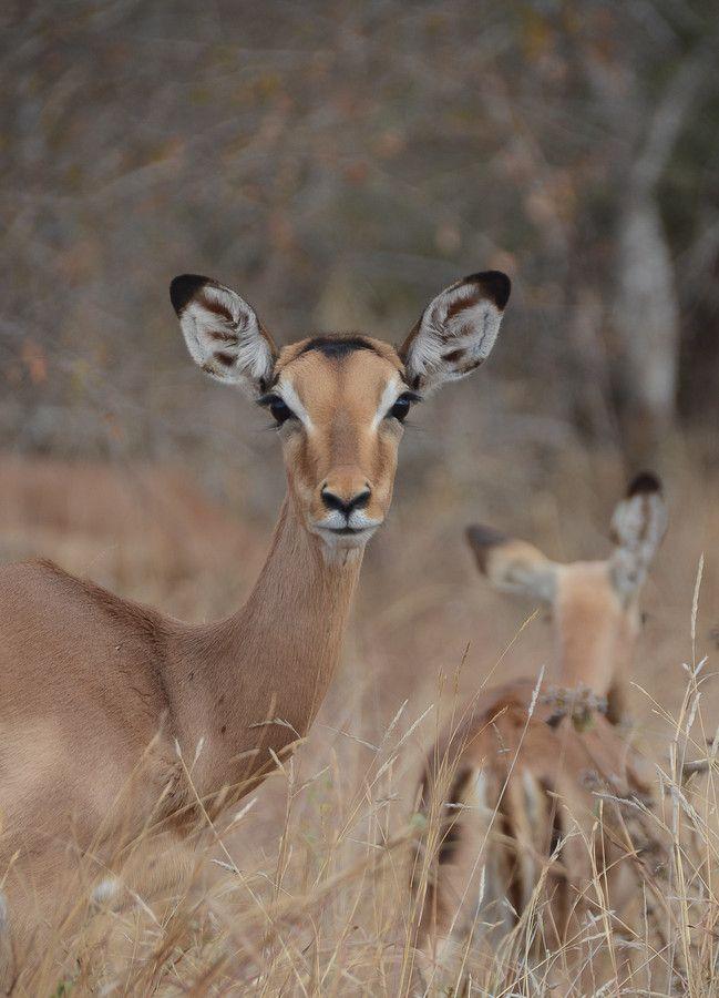 "500px / Foto ""Impala"" por Joris H. Janssen"