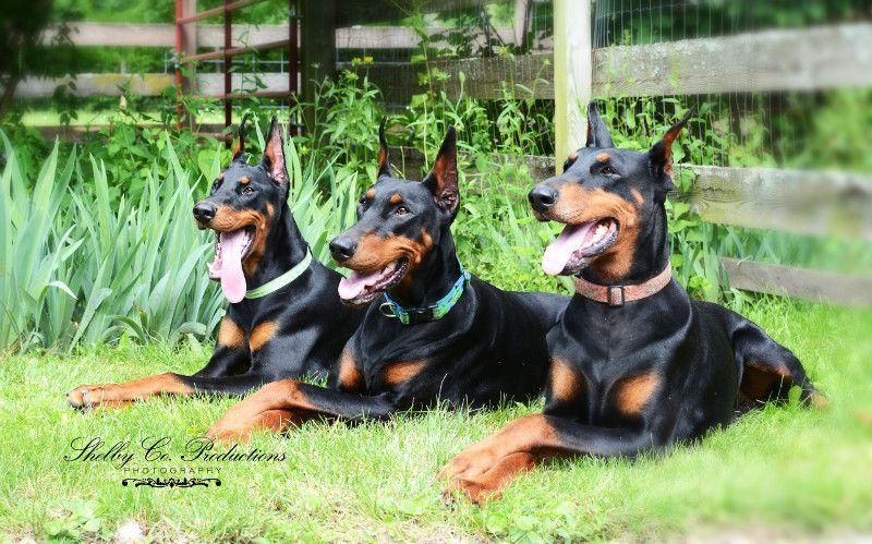 Three Generations Of Dagobah Dobermans Doberman Doberman Pinscher Cute Puppy Photos