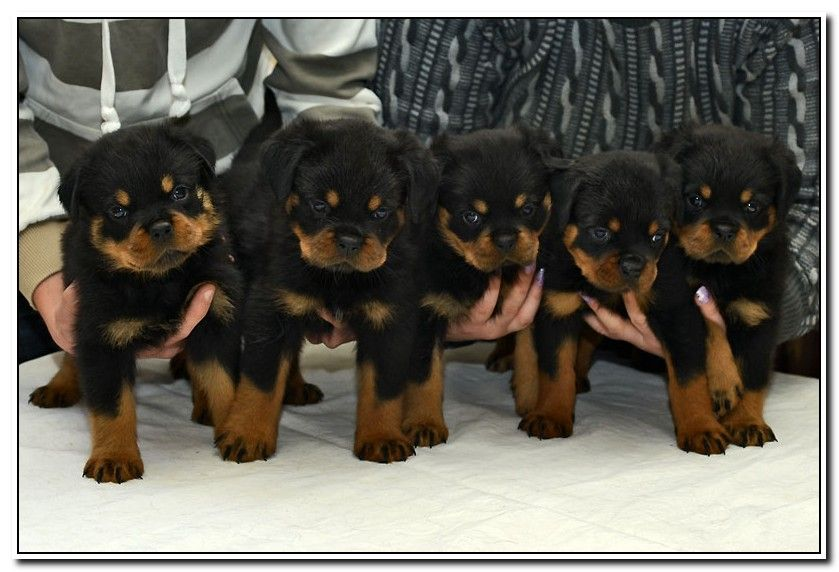 German Rottweiler Breeder In Missouri With Rottweiler Puppies For