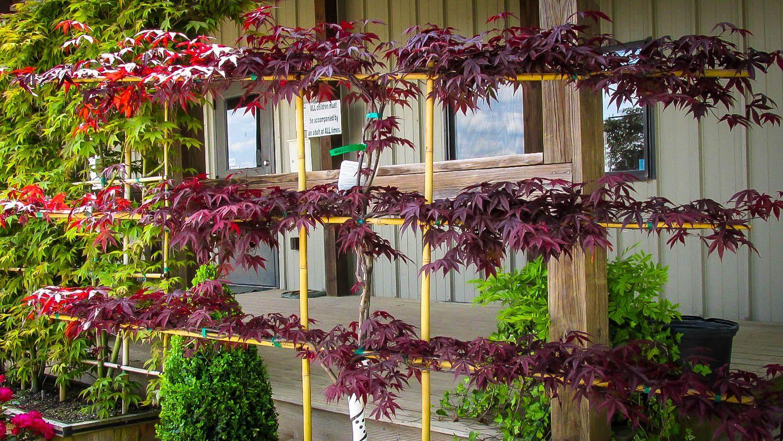 Bloodgood Japanese Maple Espalier Growing Tree Trees And Shrubs