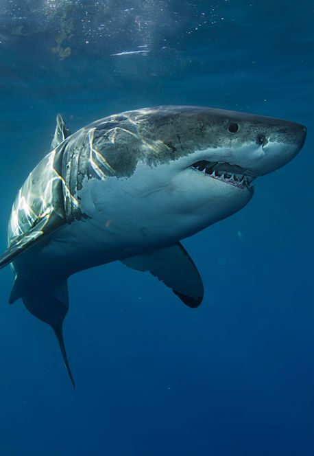 great white shark quiz