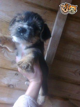 3 4 Border Terrier Puppies Maidstone Kent Pets4homes Border