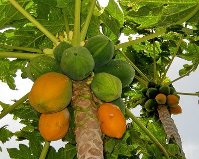 Papaya trees in the Turks and Caicos Islands
