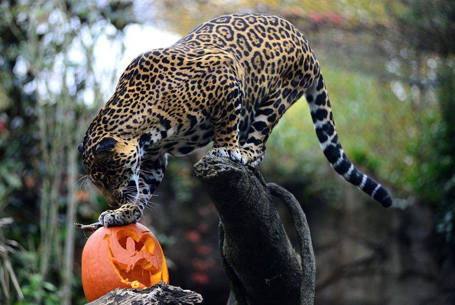 Holiday Jag O Lantern Woodland Park Zoo Seattle Woodland Park Zoo Animals Feline