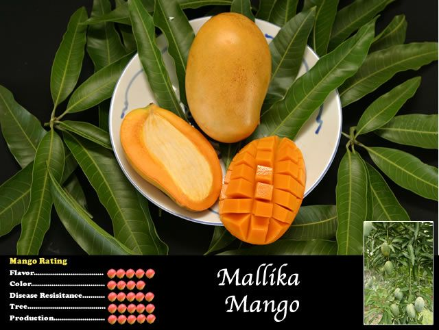 Mallika Is A Condo Mango Native To