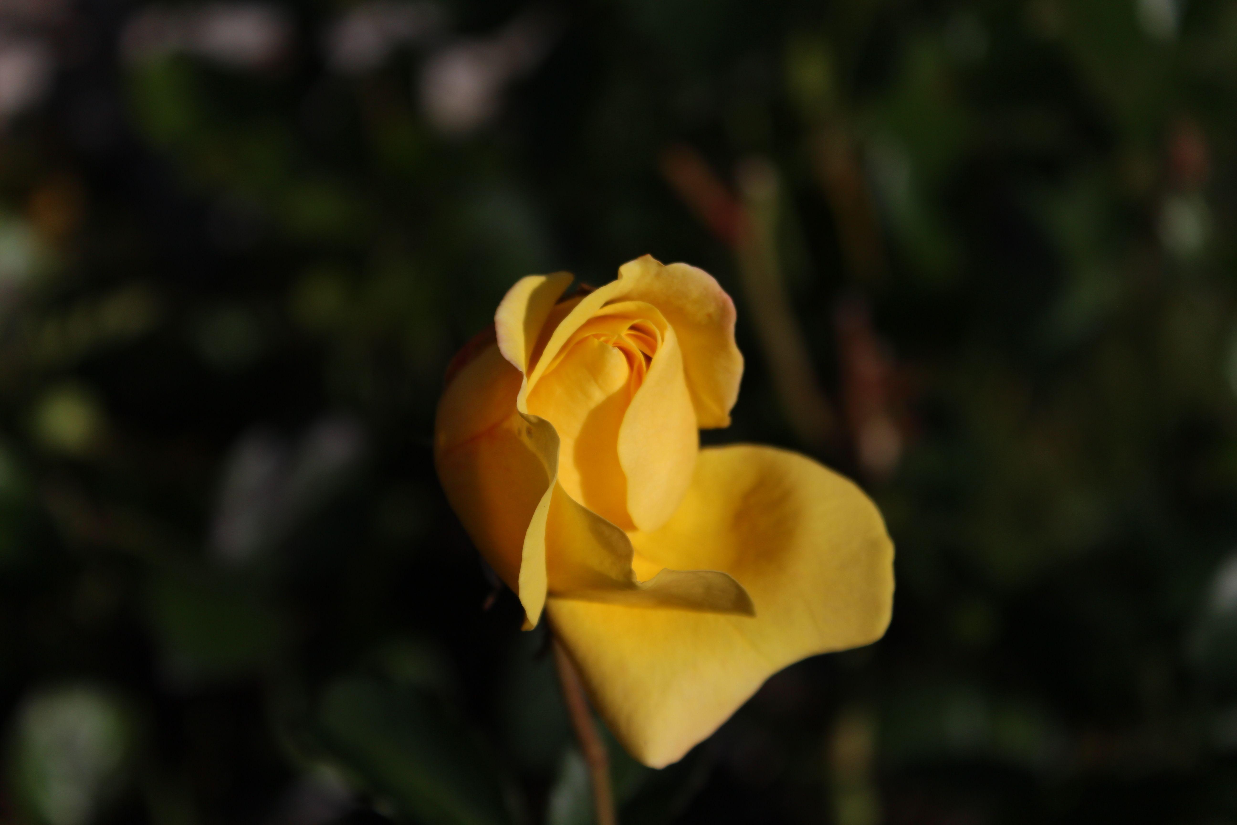 Ruusut kukkivat lokakuussa Helsingissä