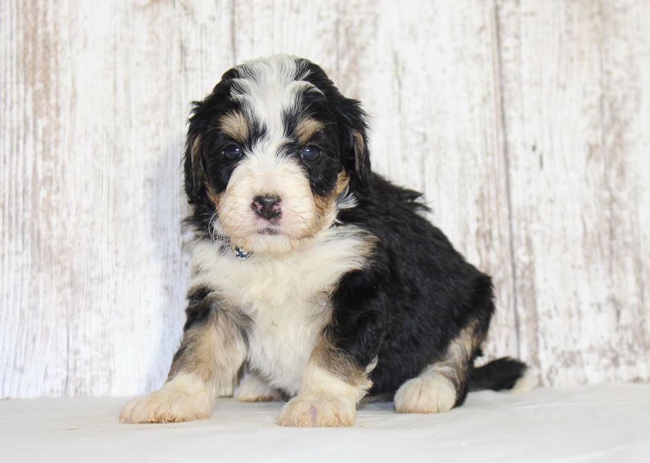 Ellie A Female Mini Bernedoodle Puppy For Sale In New Haven