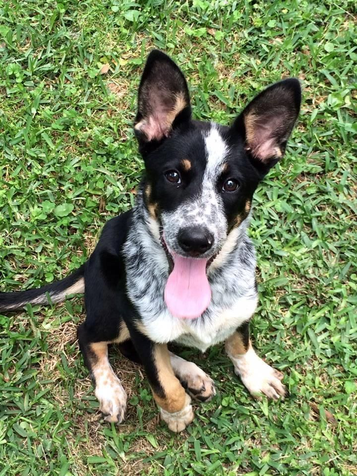 Adopt Katie on Blue heeler dogs, Australian cattle dog