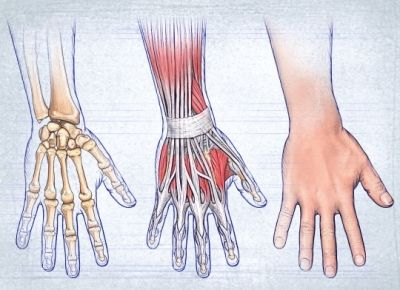 muscle tendon hand copyright nucleus medical media inc