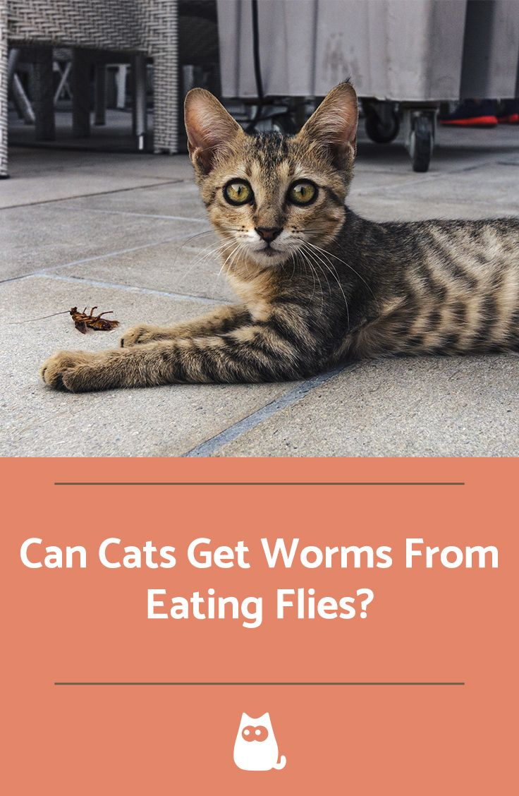 Can a Cat Get Worms from Eating Flies? Cats, Cat worms