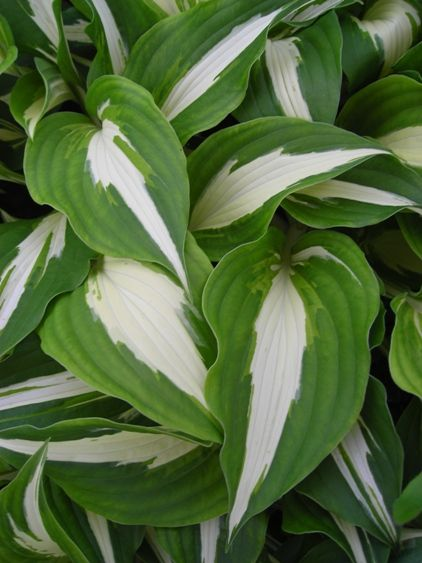Hosta Night Before Christmas Plantain Lily Plants Shade