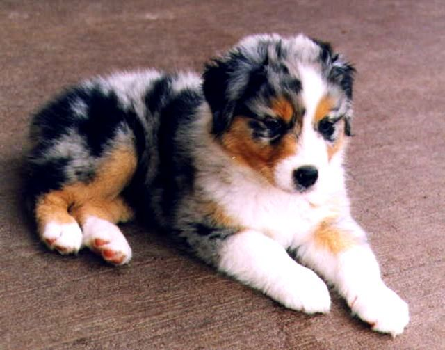Beagle Australian Shepherd Border Collie Mix Photo Happy Dog