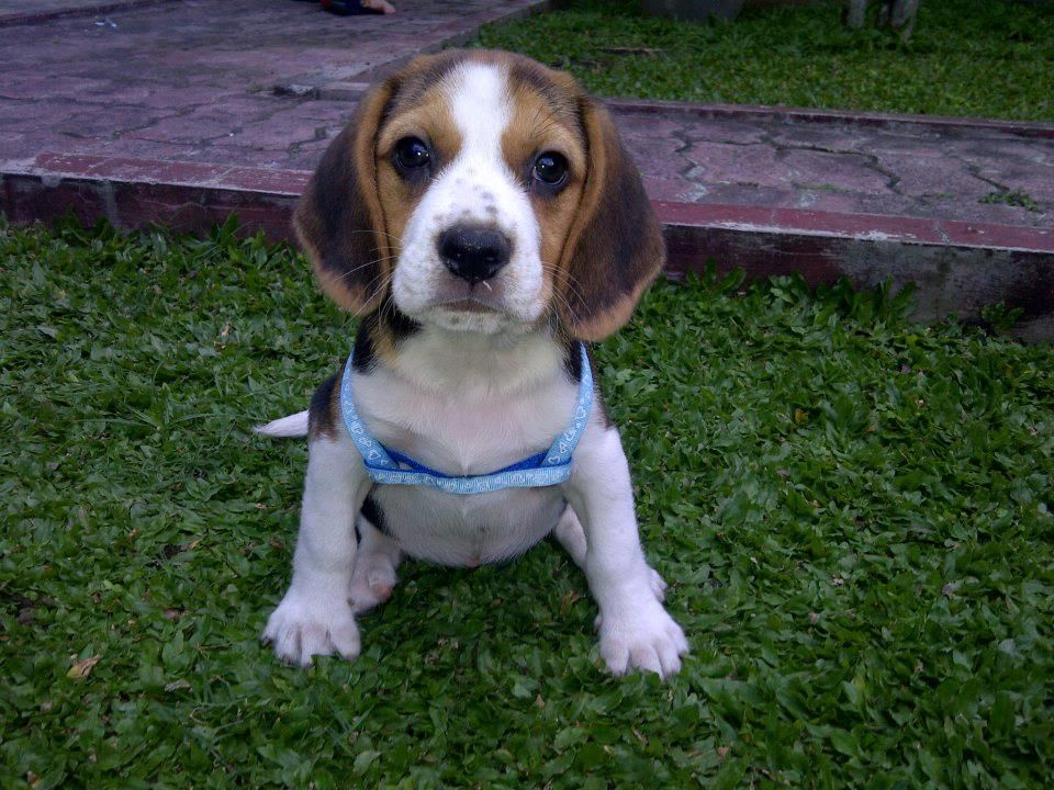 Download Two Beagle Adorable Dog - 38734ad366fc4aebada339820fdfd9ae  Pic_928678  .jpg