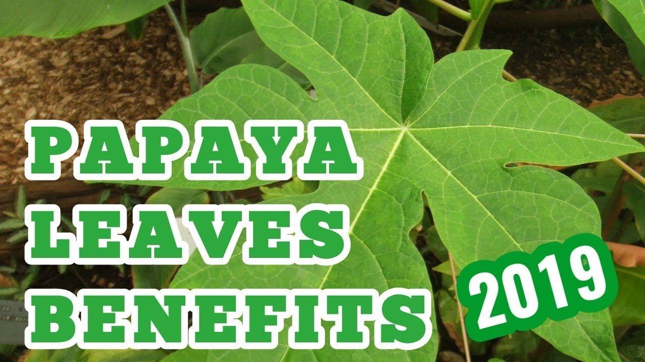 papaya leaves benefits Medicinal herbs, Plant leaves, Leaves