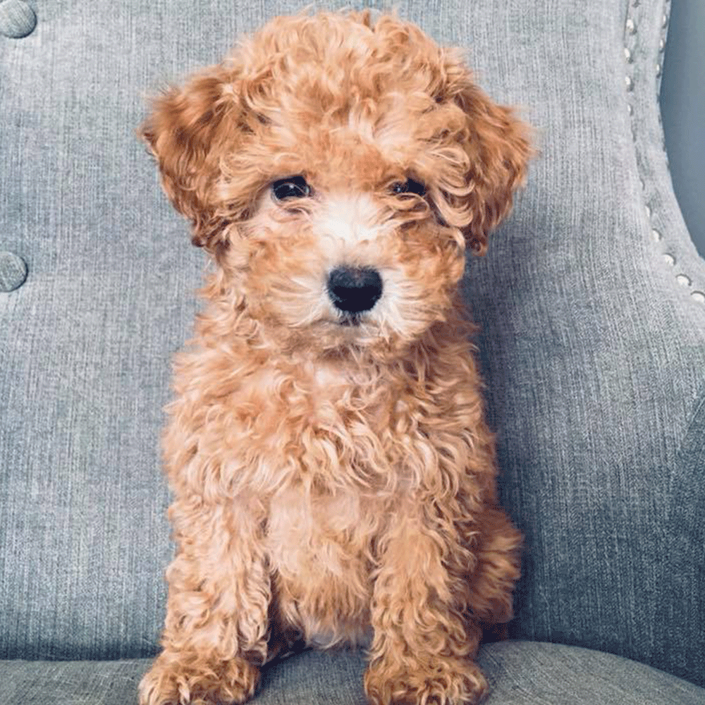 Curly Caramel Goldendoodle Puppy Just For You Puppies
