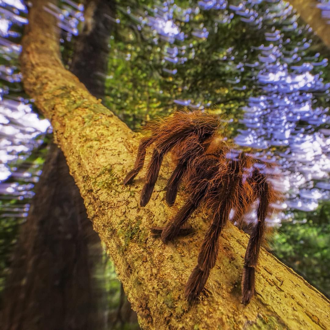 National Geographic On Instagram Photo By Randyolson Thephotosociety This Tarantula Therap Large Spiders Hollywood Science Fiction Movies Jungle Animals