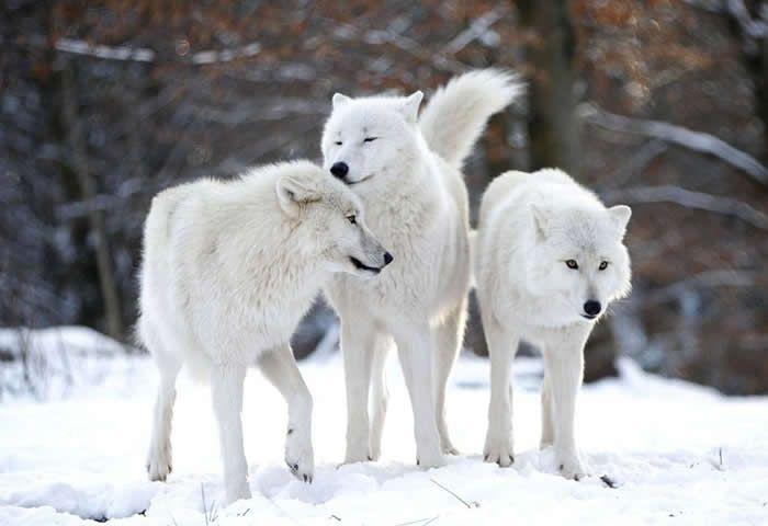 Resultado de imagen para lobo artico | canidos increibles ...