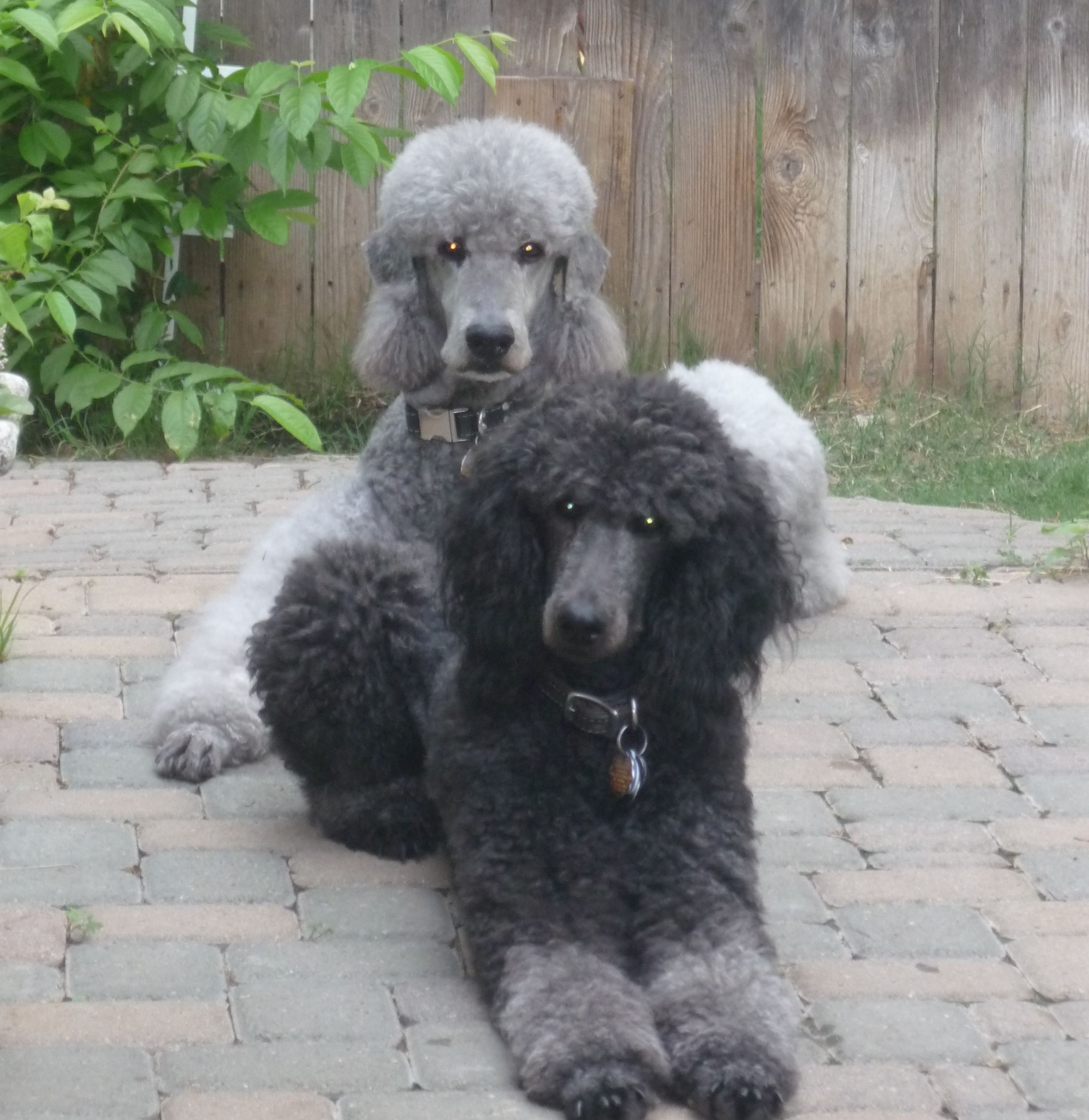 """standard poodle puppies"" - google"