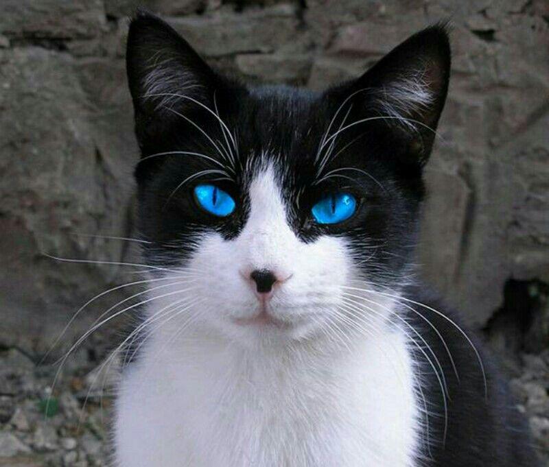 Lovely Blue Eyes Pretty Cat Cat With Blue Eyes White Cats Cute Black Kitten