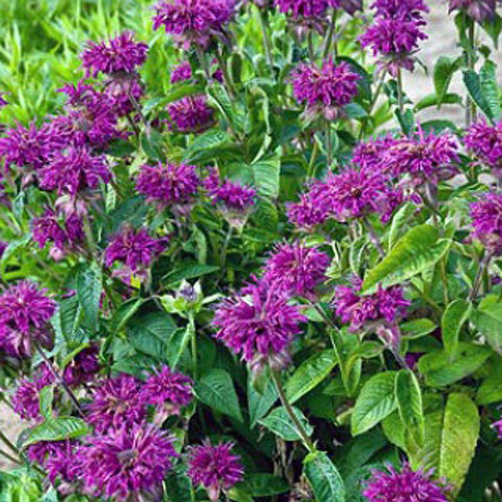 1 gal purple rooster bee balm plant pinterest bee balm plant purple rooster bee balm plant m4178g1 the home depot mightylinksfo
