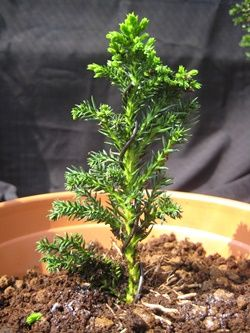 Grow trees from cuttings as Bonsai cultivation technique