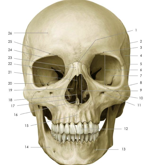 Anterior skull anatomy Quiz - By erimae | head drawing | Pinterest ...